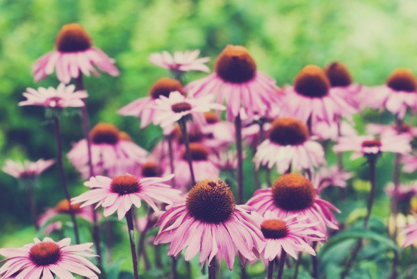 echinacea_witching_out