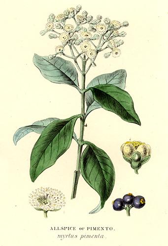 stock-image-11094-4-spice-plant-allspice